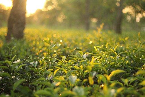 Çay Bahçesi, Doğal, Yeşil, Yaprak, Yaz