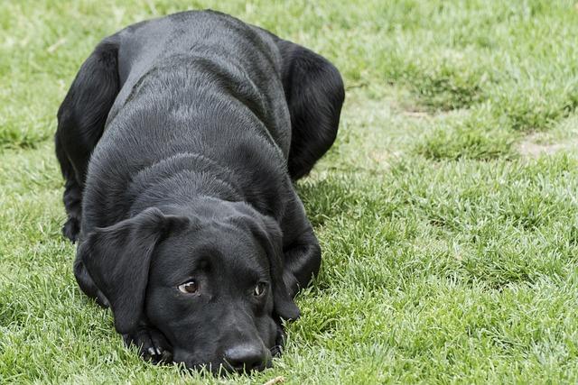 labrador retriever puppy 183 gratis foto op pixabay