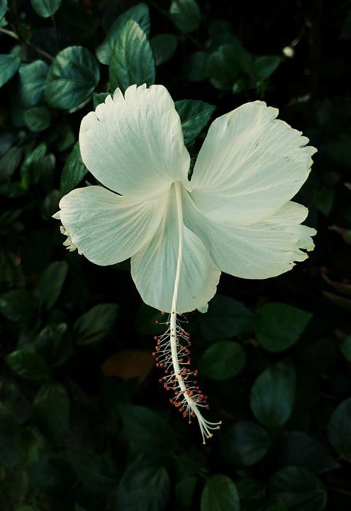 Hibiskus Blume Weiß · Kostenloses Foto auf Pixabay