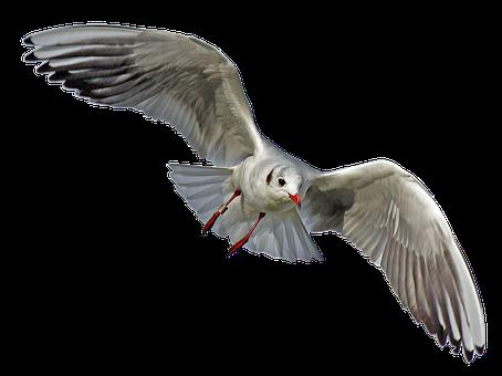 Seagull, Bird, Mouette, Vol, Seevogel
