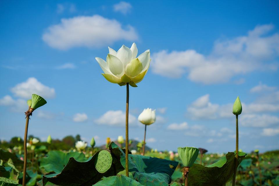 Lotus flower beauty free photo on pixabay lotus flower beauty spring macro color flowers mightylinksfo