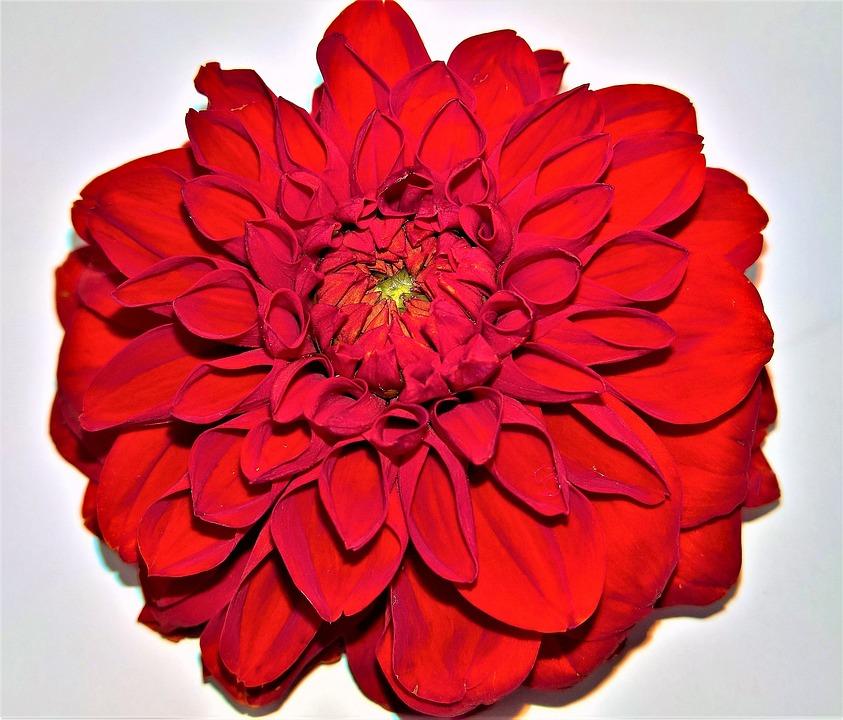 çiçek Dalya Bahçesi Tek Pixabayde ücretsiz Fotoğraf