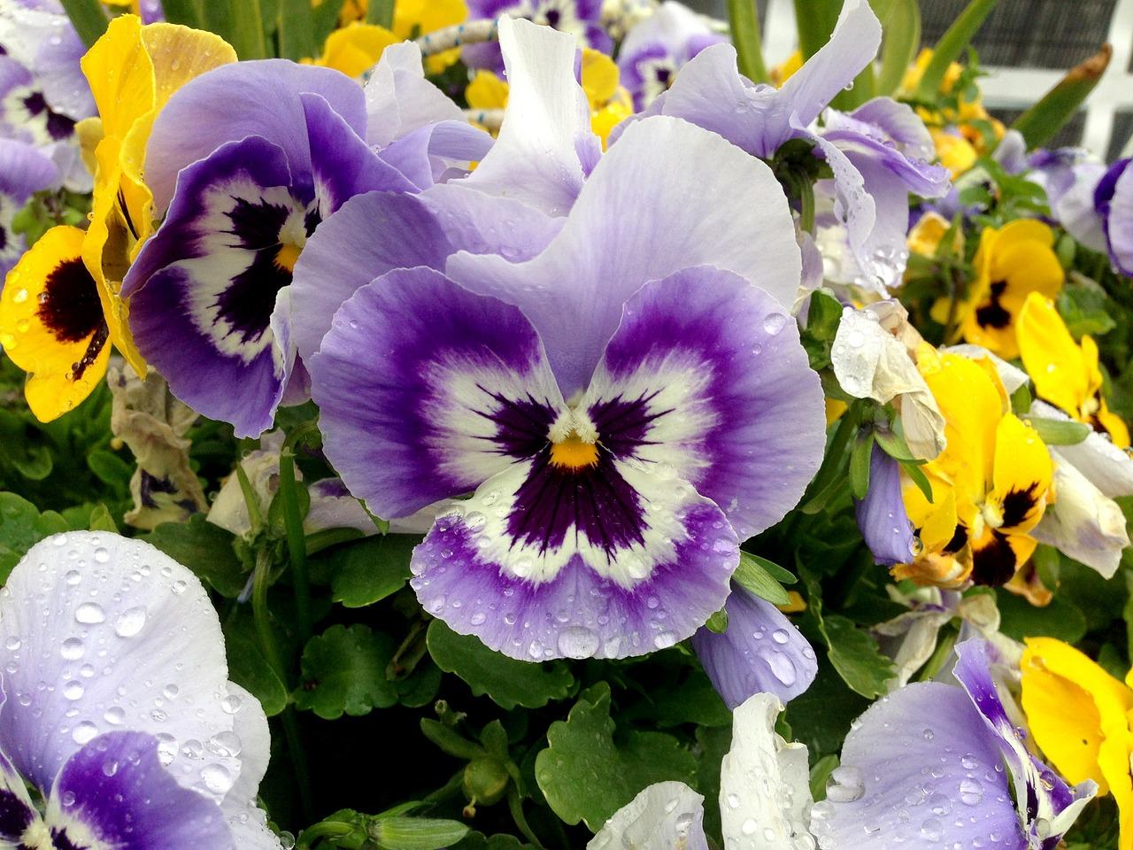 суп цветы анютины глазки с картинками объехать