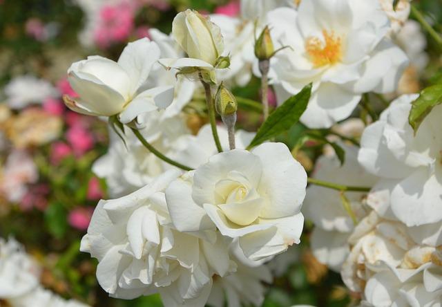 kostenloses foto weisse rosen blumen strau rosen kostenloses bild auf pixabay 2694591. Black Bedroom Furniture Sets. Home Design Ideas
