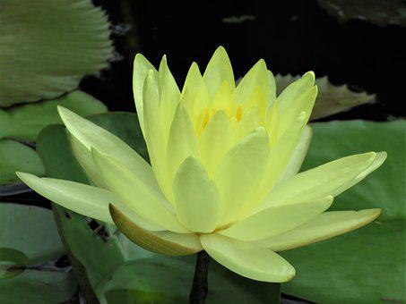 100 Free Yellow Lotus Flower Yellow Images Pixabay