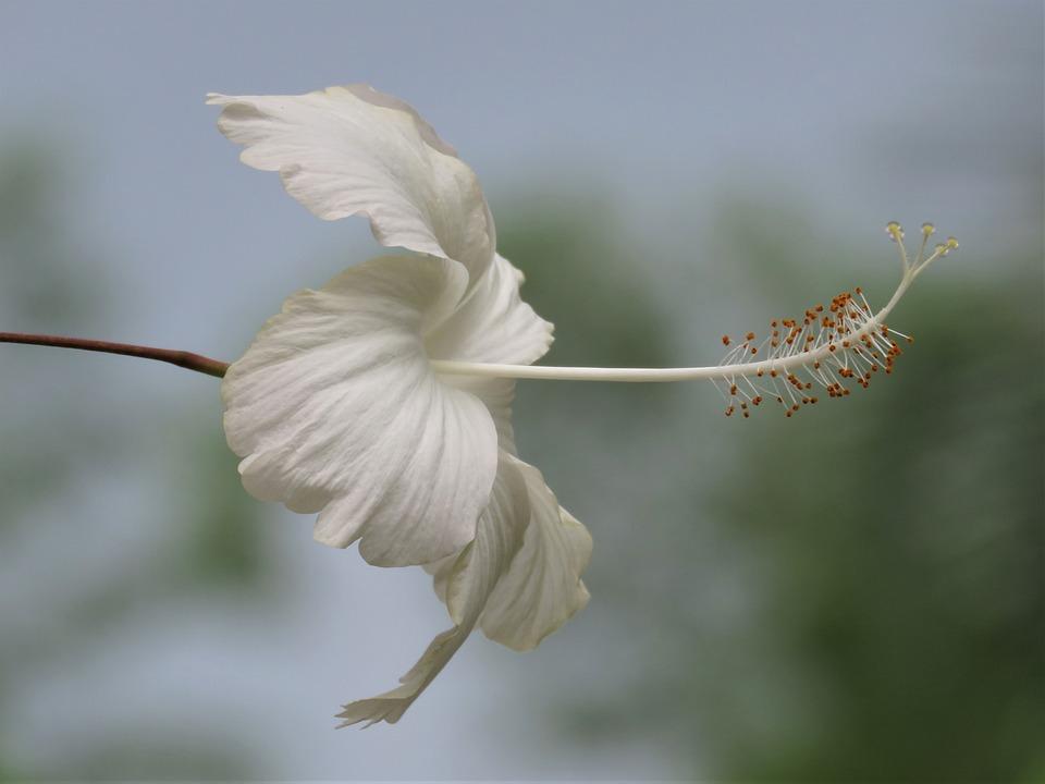 Fleur Blanche Tropicale Gros Photo Gratuite Sur Pixabay