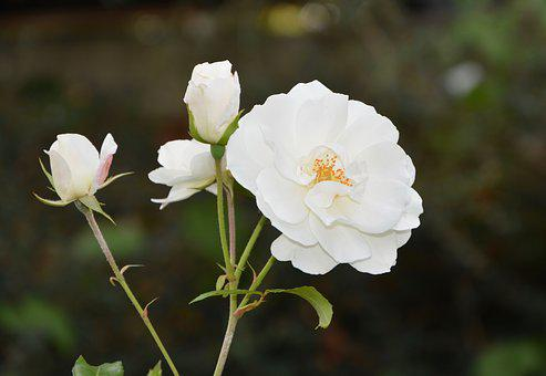 Resultado de imagem para rosa branca flor tumblr
