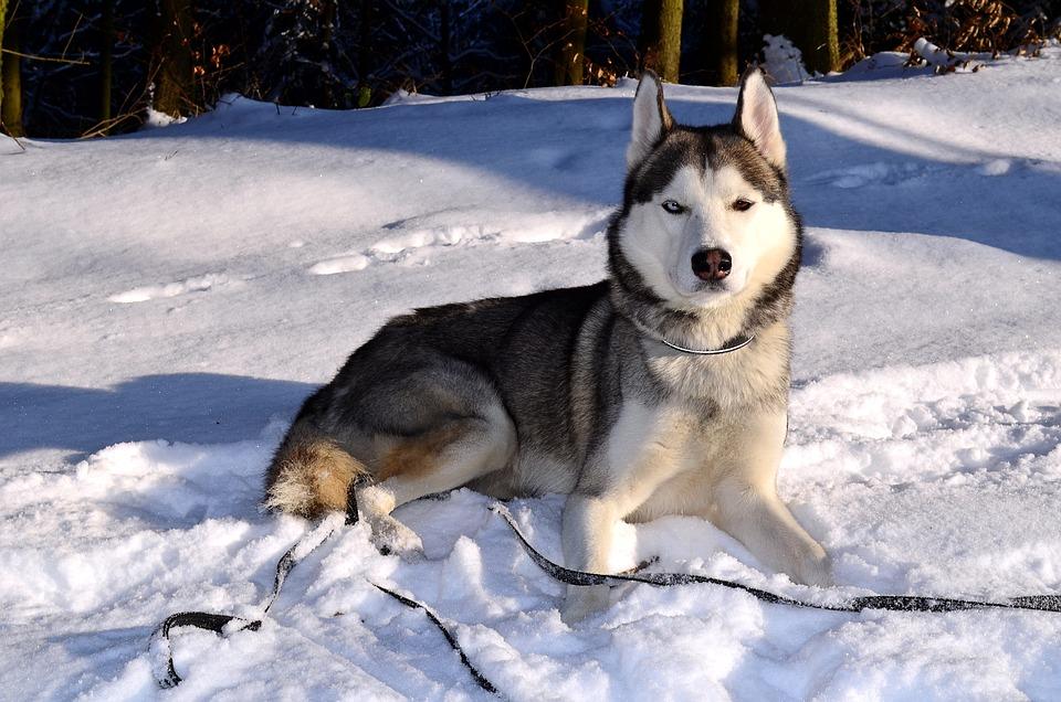 Husky Dog Siberian Free Photo On Pixabay