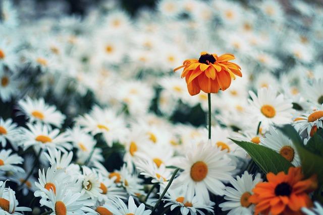 Daisy Flower Nature Free Photo On Pixabay