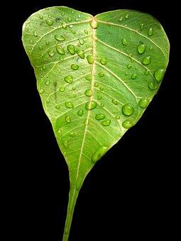 Bodhi Leaf, Pipal Leaf, Green Leaf