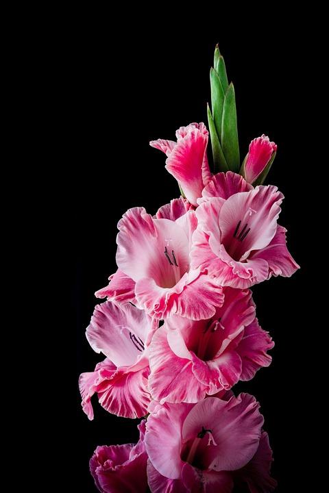 Gladiolus Images Pixabay Download Free Pictures