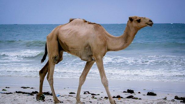 Camel, Kenya, Mombasa, Africa, Animal
