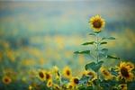 sunflower, autumn