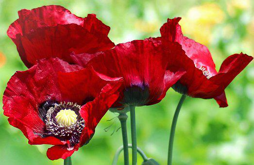 Opium poppy images pixabay download free pictures poppy poppies flower flora red mightylinksfo