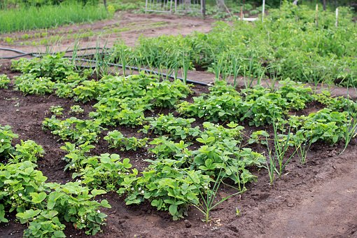 Dacha, Vegetable Garden, Harvest, Summer