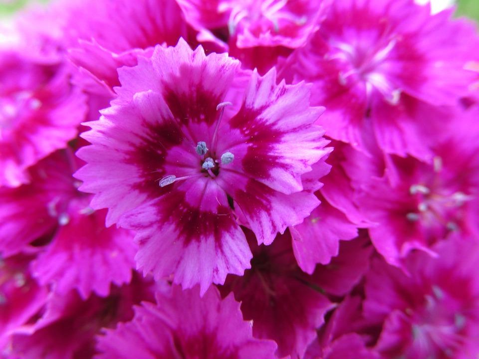 Flower pink bush free photo on pixabay flower pink bush plant flowers nature summer mightylinksfo