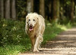 golden retriever, dog, retriever