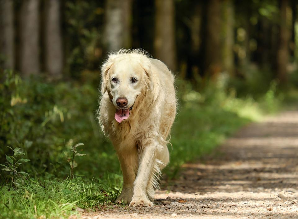 Golden Retriever, Dog, Retriever, Bitch, Old, Golden