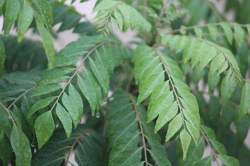 Kadipatta, Curry Leaf, Murraya Koenigii