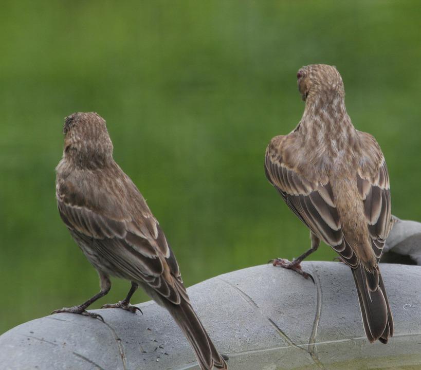 Unduh 66+ Foto Gambar Burung Finch HD Paling Bagus Free