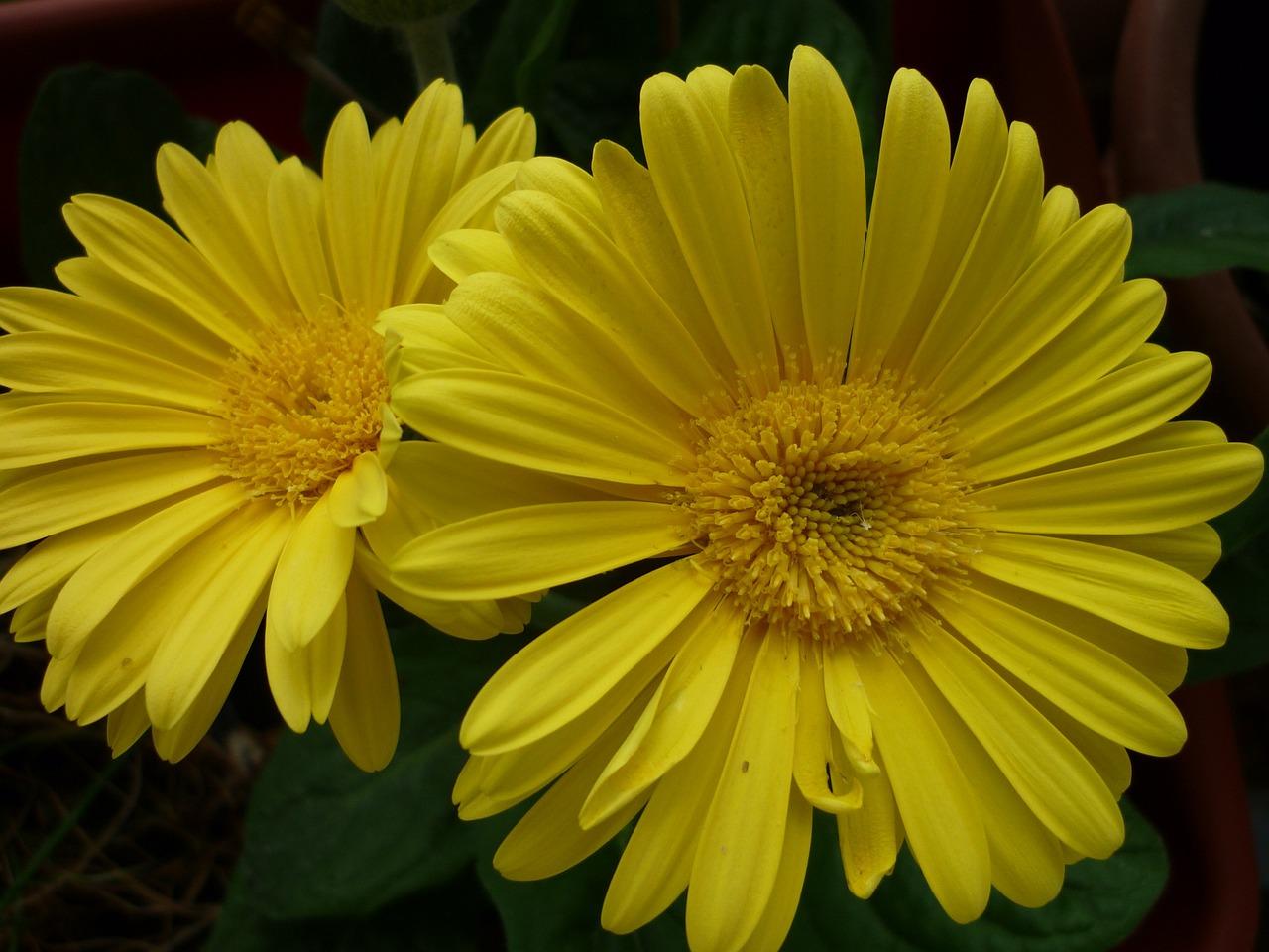 гербера желтая фото заранее