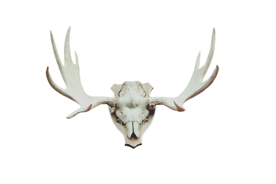 antler moose deer  u00b7 free photo on pixabay elk clip artist for free elk clip artist for free