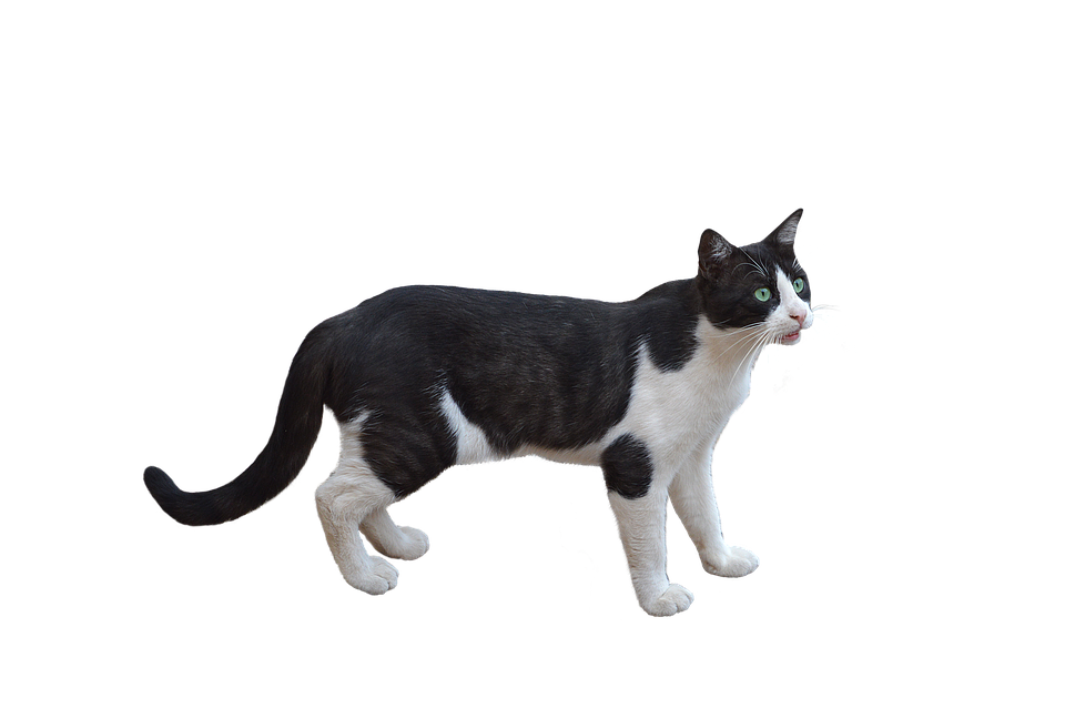 Png Kot Pet Darmowe Zdjęcie Na Pixabay