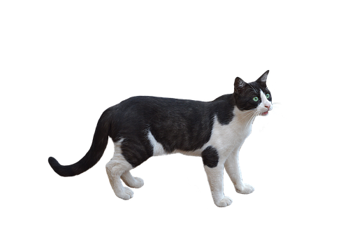 White cat png