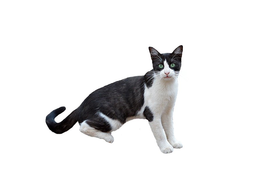 Png Cat Feline · Free Photo On Pixabay