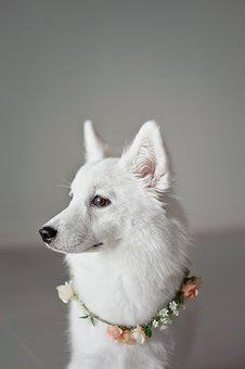 White, Puppy, Canine, Companion, Animal