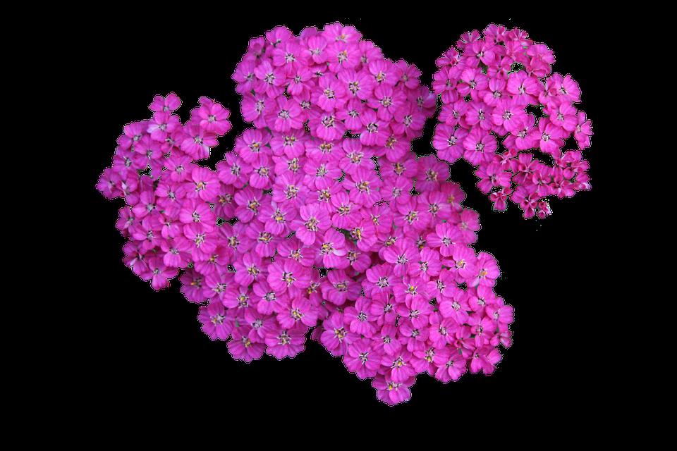 Plant Achillea Png Yarrow Blossom Flower