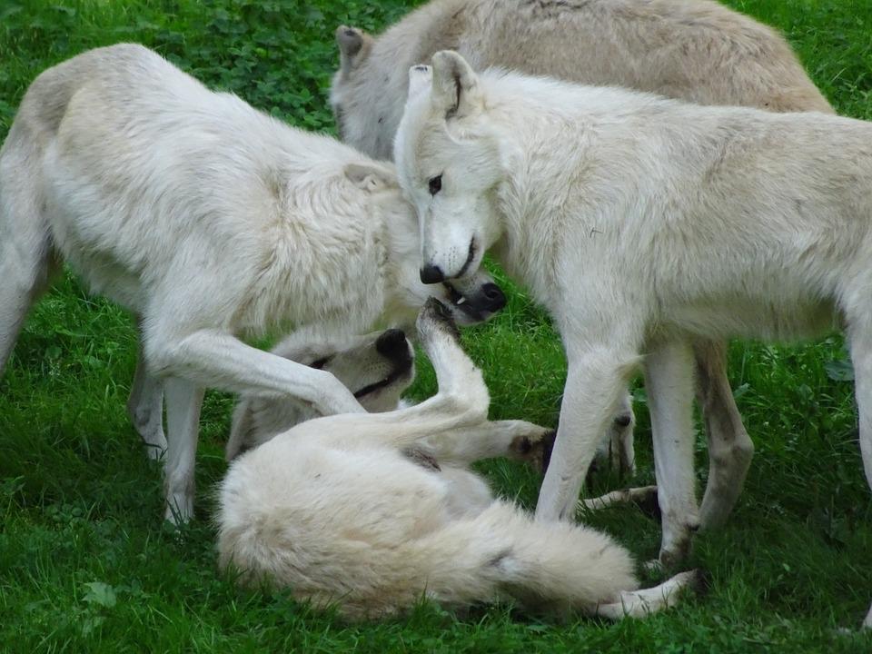 White Wolves Pack 183 Free Photo On Pixabay
