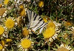 camouflage, thistles, butterfly