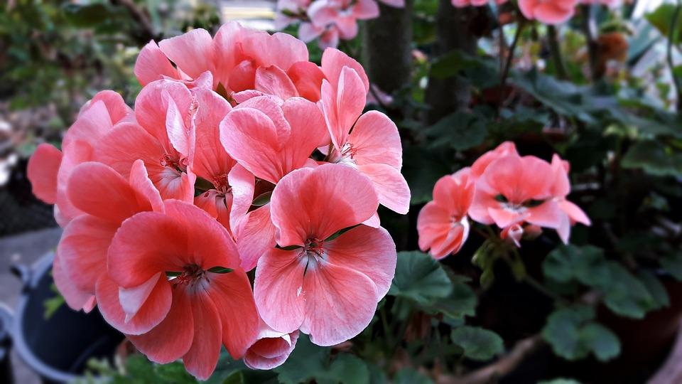 Kwiat, Pelargonia, Flora, Delikatność, Płatki