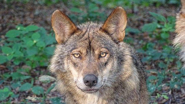Serigala Gambar Unduh Gambar Gambar Gratis Pixabay