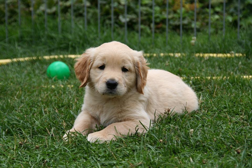 golden-retriever-puppy-2706655_960_720 Valp on