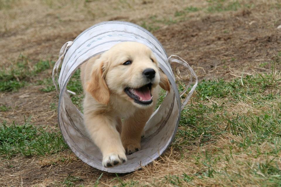 200+ Free Golden Retriever Puppy & Golden Retriever Images