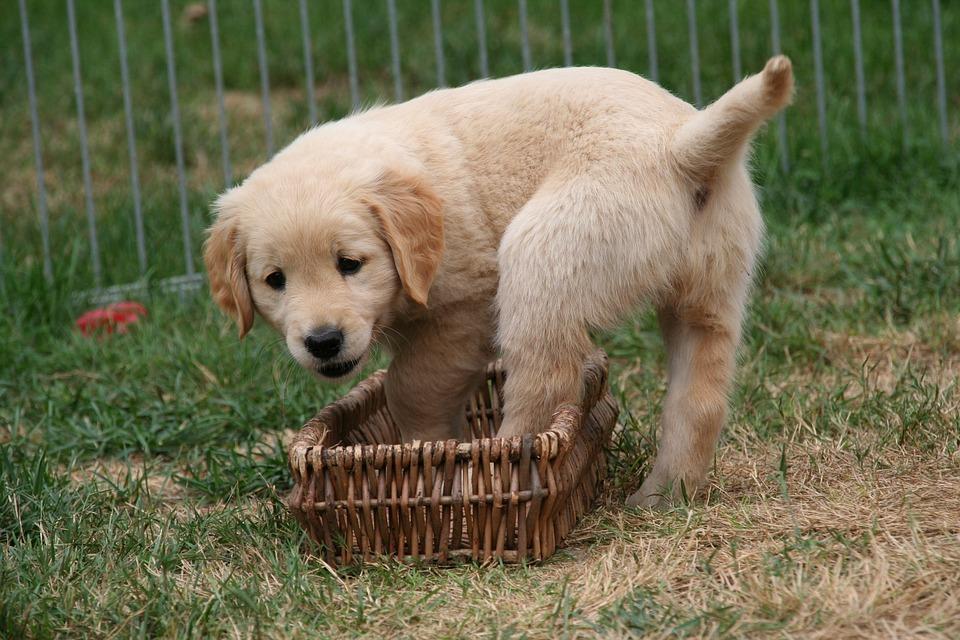 200+ Free Golden Retriever Puppy & Golden Retriever Images - Pixabay