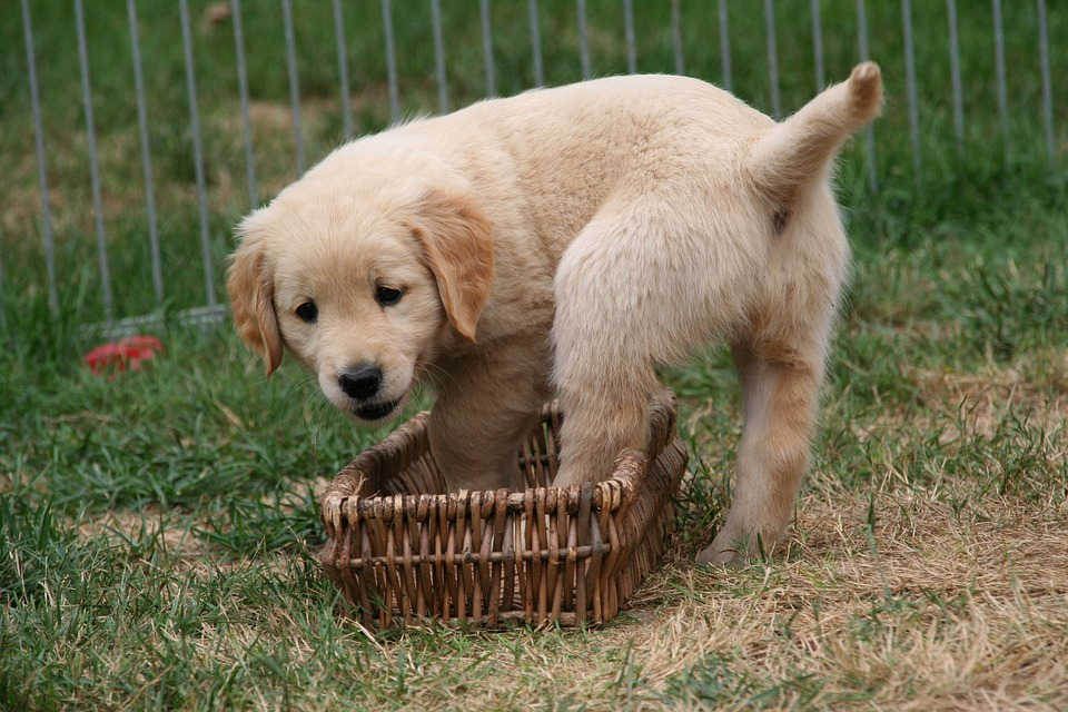 Golden Retriever Puppy Dog Free Photo On Pixabay