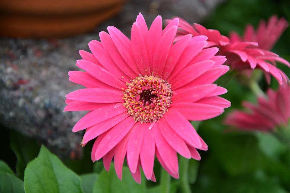 Fiori Fucsia.Fiori Rosa Fucsia Natura Foto Gratis Su Pixabay