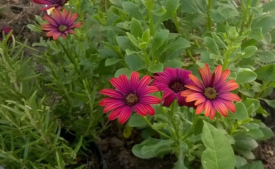 Photo gratuite: Fleurs, Jardin, Romarin, Septembre - Image ...