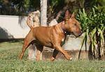 dog, miniature, bull terrier