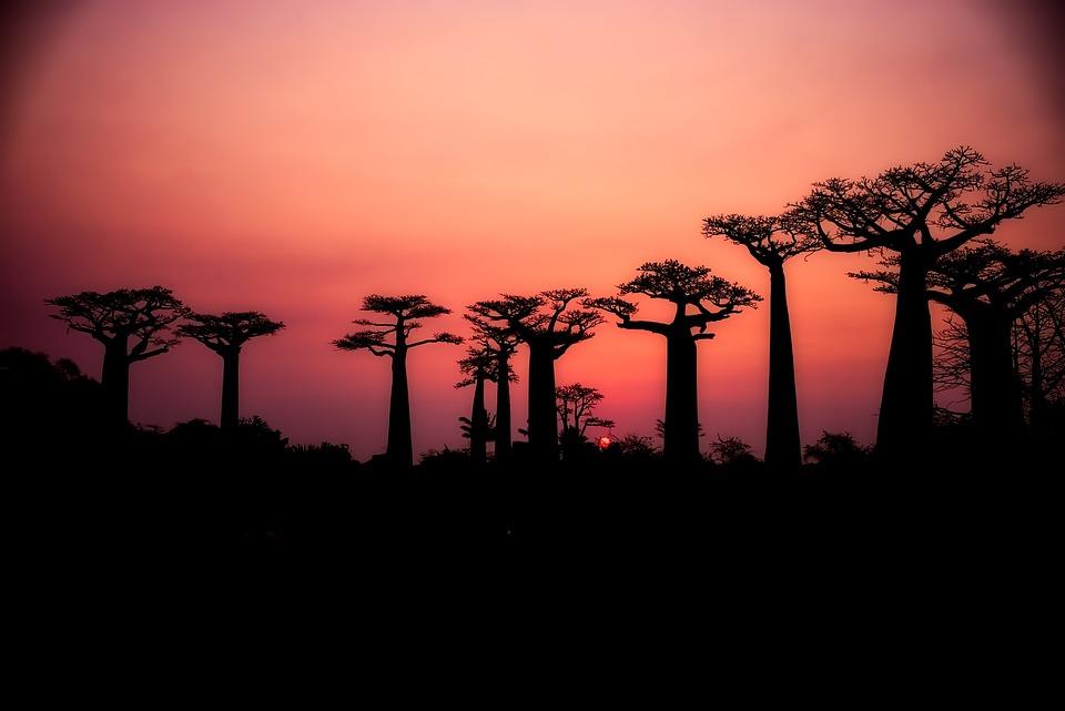 Baobabs, Arbres, Silhouette, Paysage, Coucher De Soleil
