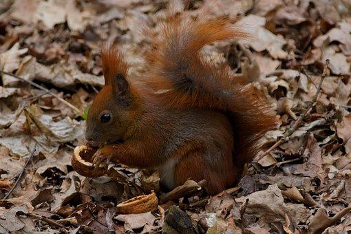 L'Écureuil, Animal, Nature, Animaux