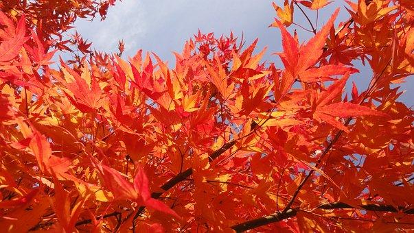100 Free Japanese Maple Leaves Images Pixabay