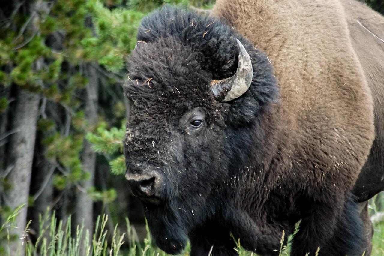 бизон фото животного