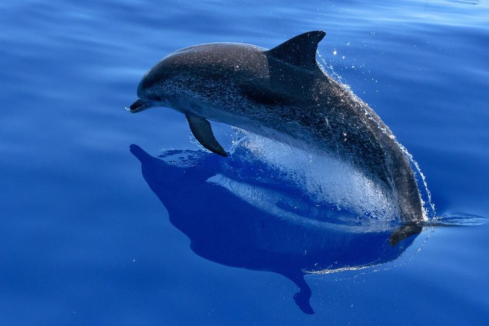 dolphin sea marine mammals animals - Dolphin Pics