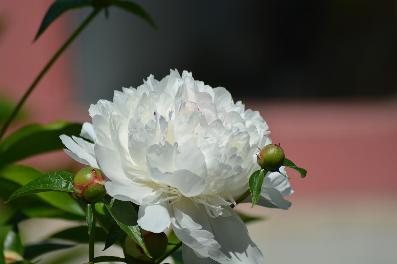 Картинки цветов пионы белые, взять для