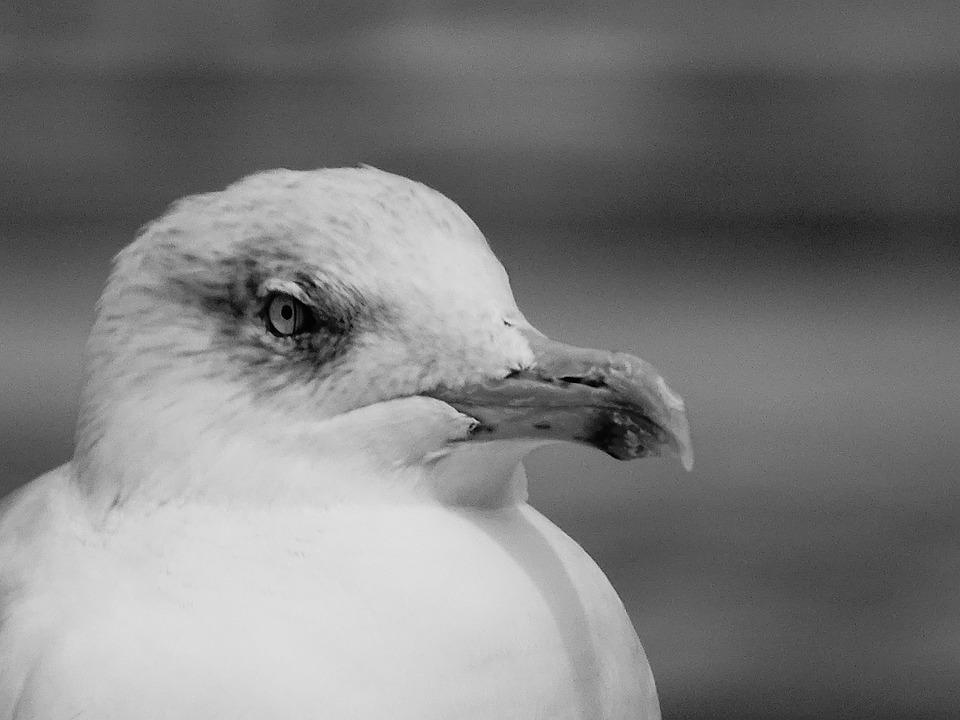 Stiahnite si zdarma túto fotografiu o Čajka Čierna Biela z Pixabay knižnice public domain obrázkov a videí.