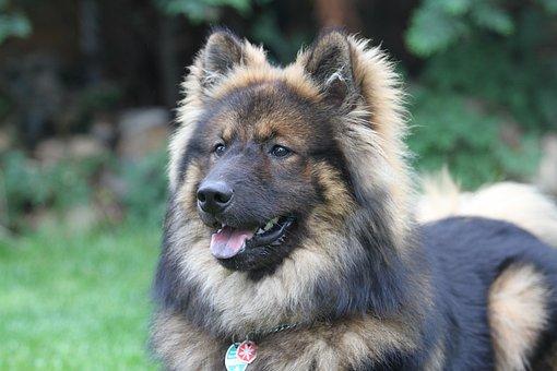 Eurasians, Dog, Pet, Dog Breed